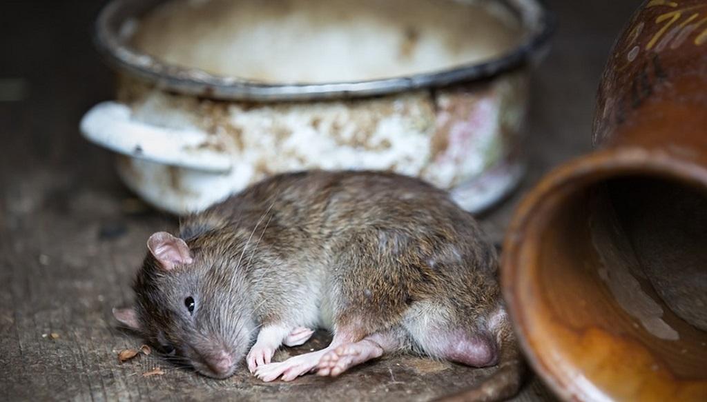 Công ty diệt chuột